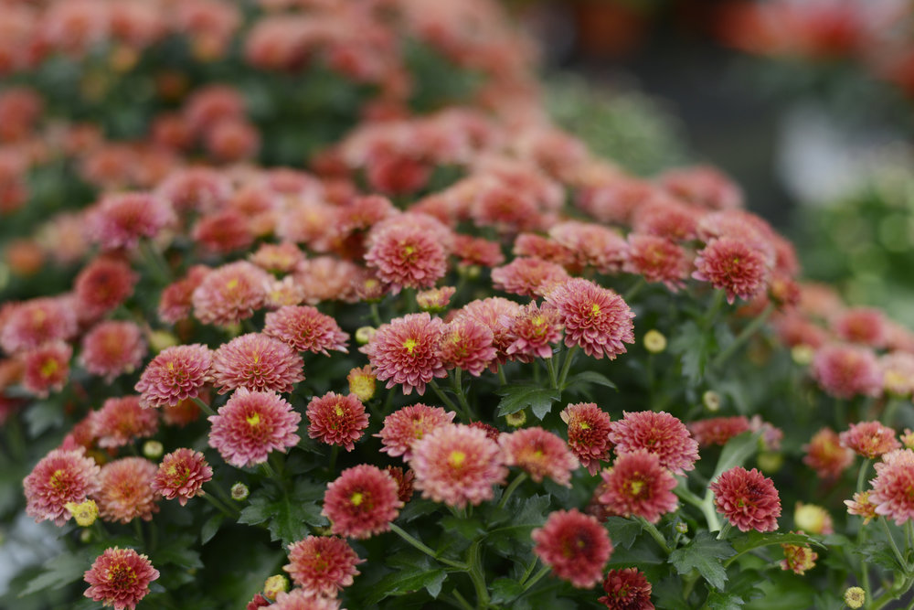 'Mums' - Did you know that Chrysanthemums symbolise optimism and joy? So I'm going to be optimistic that the weather holds off this weekend to get this beauty planted in my garden!