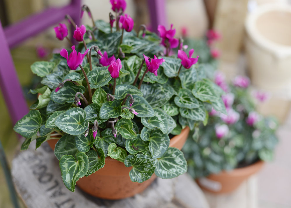 Hardy Cyclamen - As the Autumn starts to blow in and all your Summer planting comes to an end...FEAR NOT! Cyclamen are bursting in our doors with a pop of colour! These terracotta pots are a warm welcome home for your front door and are tough enough to endure the Winter! 💪🏼