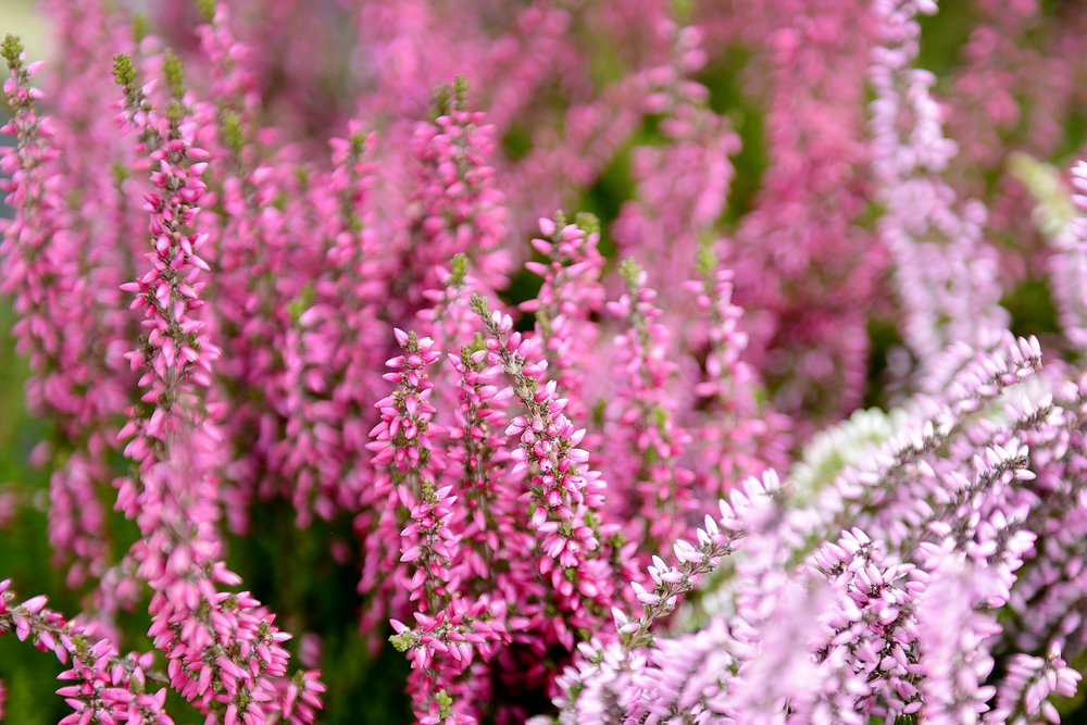 Hey Heather! - Add volume and body to your container with these delicate flowers in pretty shades of plum, pink and white.
