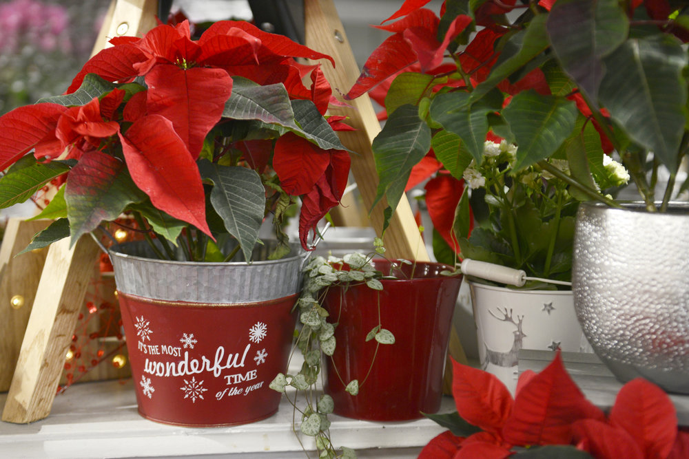 Festive Poinsettia - No flower says Christmas quite like a Poinsettia! Bring a festive cheer to your house or to a friends this Christmas with our cheerful Poinsettias!