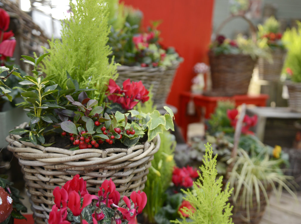 Colour Pop! - Colour at this time of year can be in short supply. Our wicker basket planters with red cyclamen and berries are the perfect pick me up for the garden after storm Deirdre!