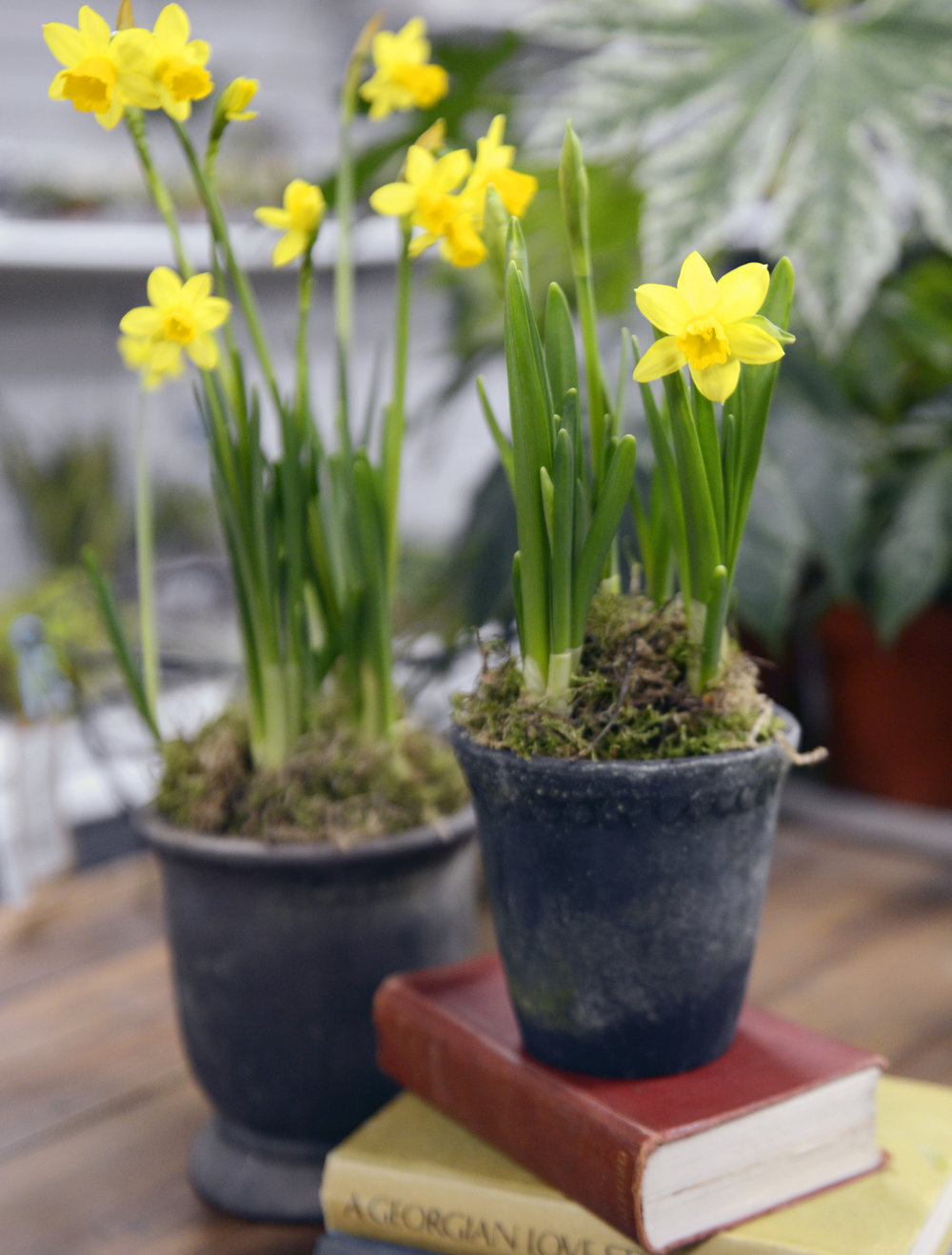 Put a Spring in your step! - We love to bring our outdoor bulbs into our homes in early Spring to add a little splash of colour! Once they go over just pop them outside in your borders!