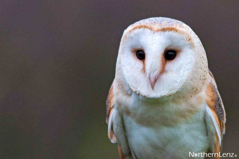 Beautiful Barn Owl  Image Ref: FF12