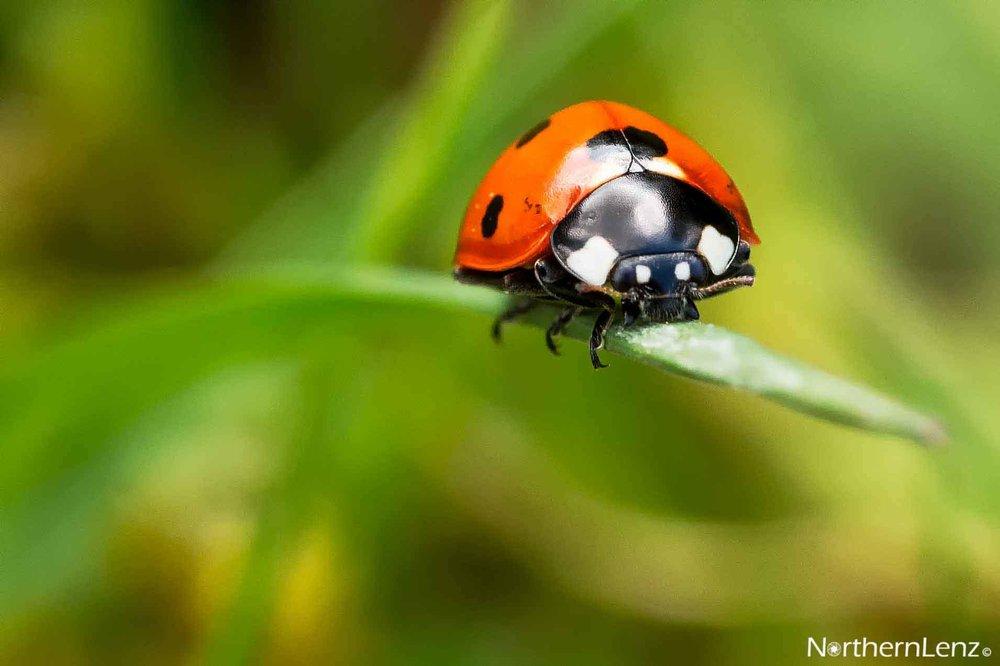 Ladybird living on the edge  Image Ref: UC09