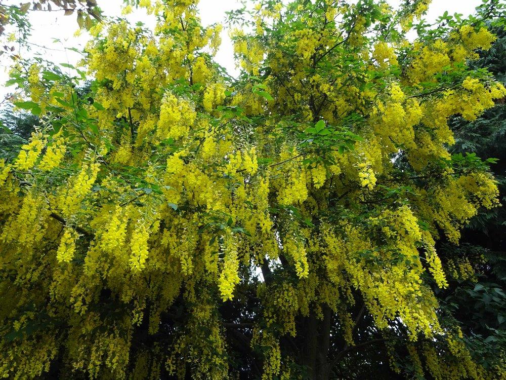 A laburnum tree