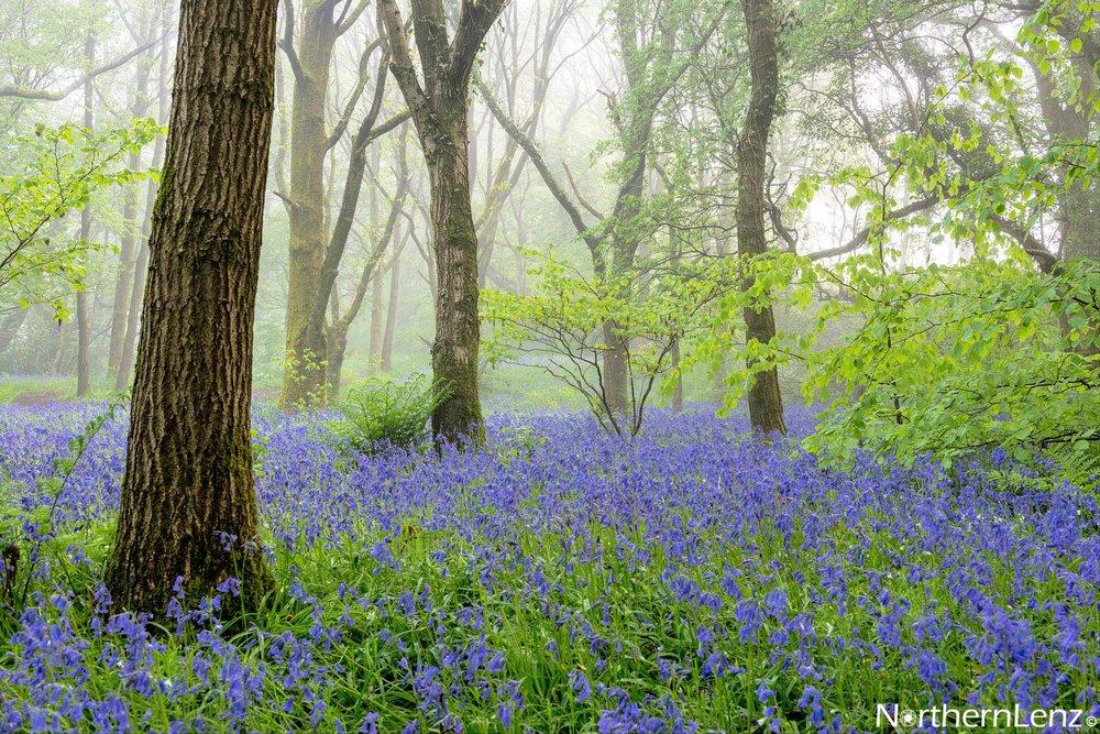 Misty bluebells in Chorley, Lancashire  Image Ref: MT02