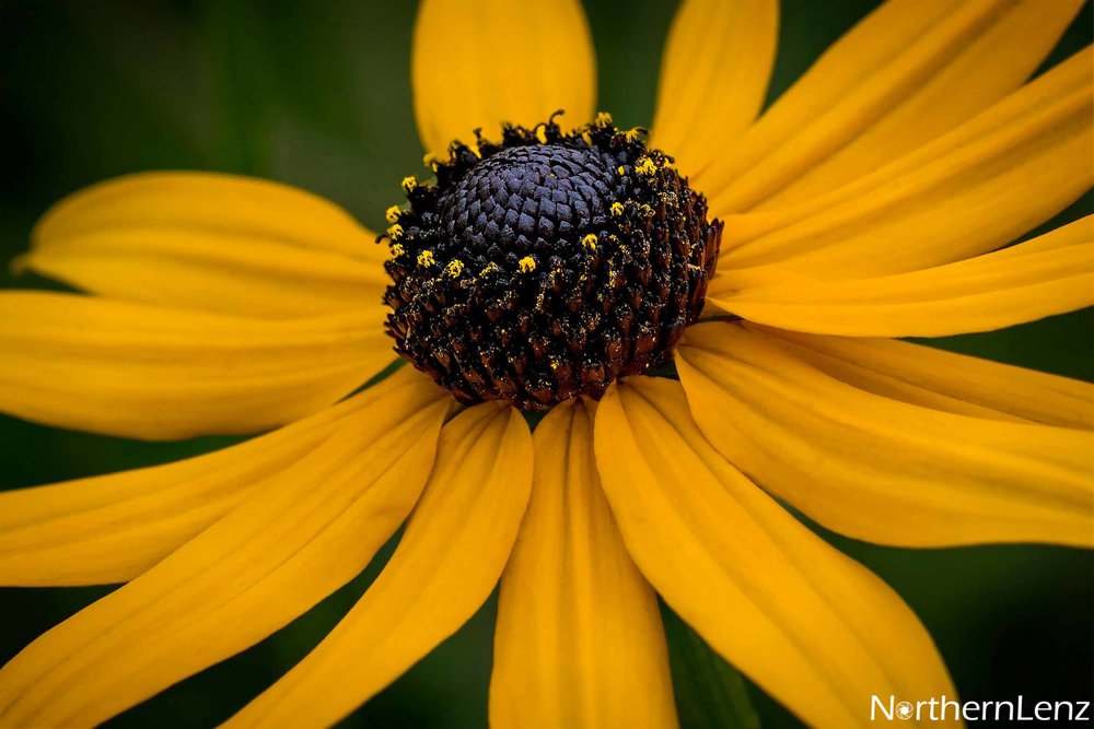 Black-eyed Susan bringing such colour to a dull day  Image Ref: UC05