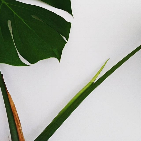 my favourite monstera