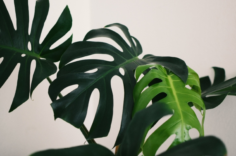 monstera monday cheese plant leaves