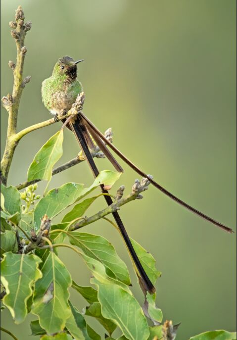 Black Tailed Trainbearer