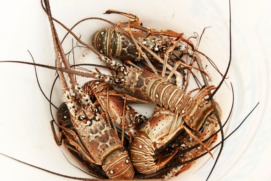 lobstermaypen.jpg