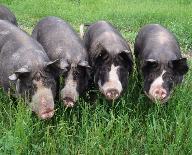 Golden Bear Farm pigs.jpg