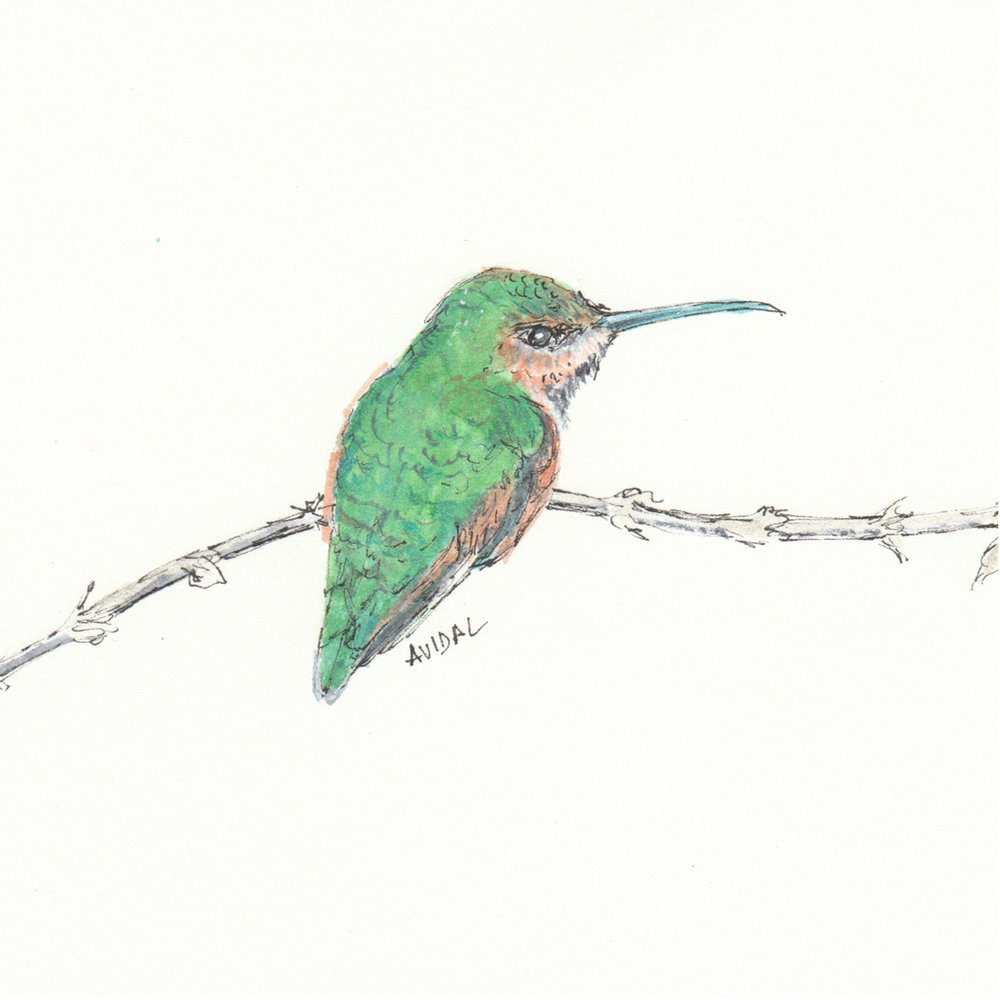 "Allen's Hummingbird, Watercolor and Ink, 5"" x 7"""