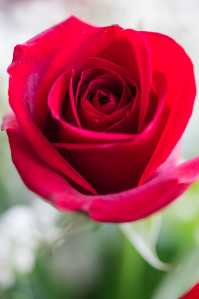 Roses_VGF25050_20170216_22-683x1024.jpg