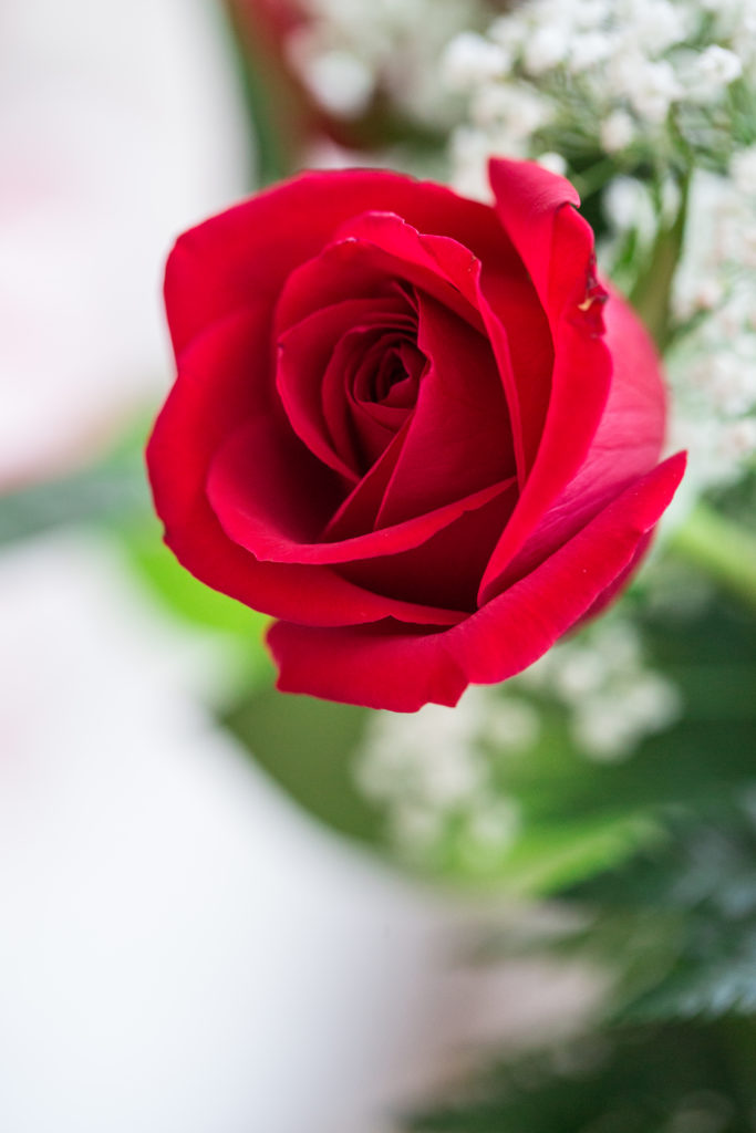 Roses_VGF25053_20170216_24-683x1024.jpg