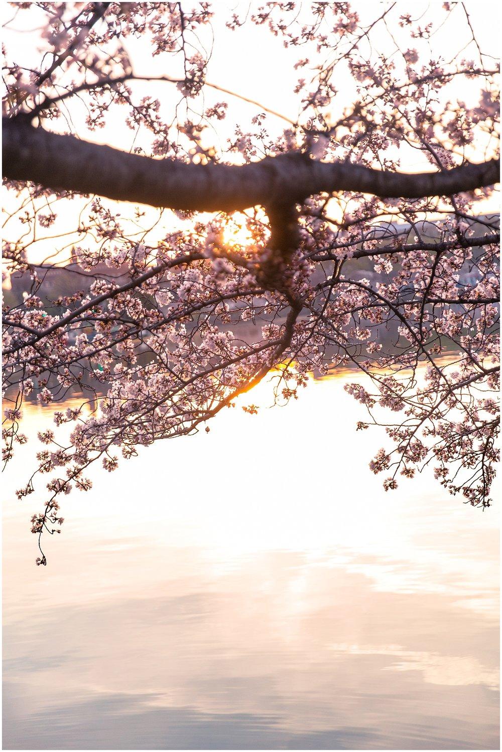 cherryblossom_washingtondc_spring_pink_0039.jpg