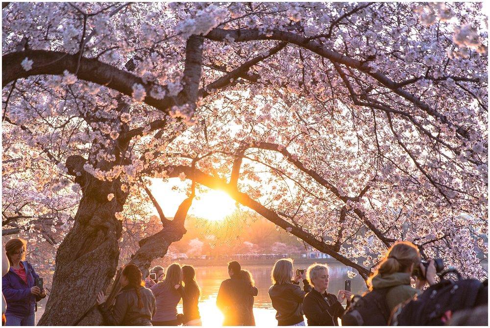 cherryblossom_washingtondc_spring_pink_0040.jpg