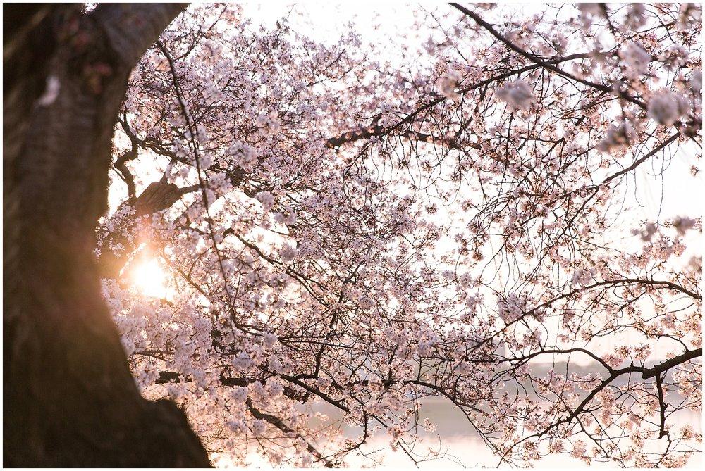 cherryblossom_washingtondc_spring_pink_0051.jpg