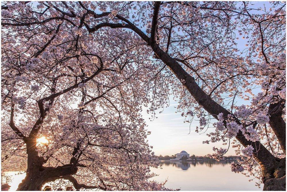 cherryblossom_washingtondc_spring_pink_0053.jpg