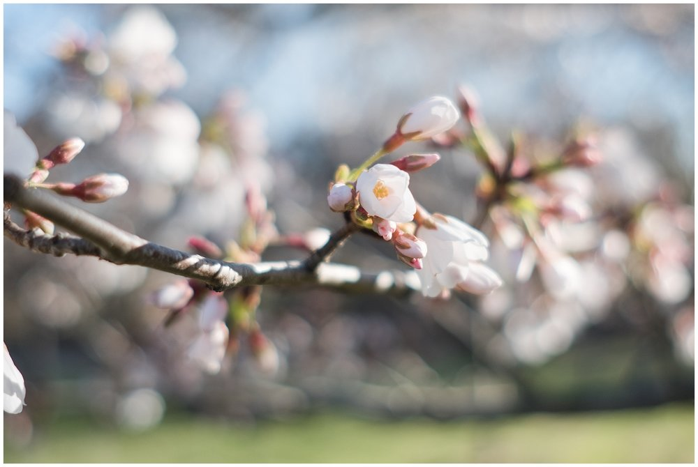 cherry_blossoms_0005.jpg