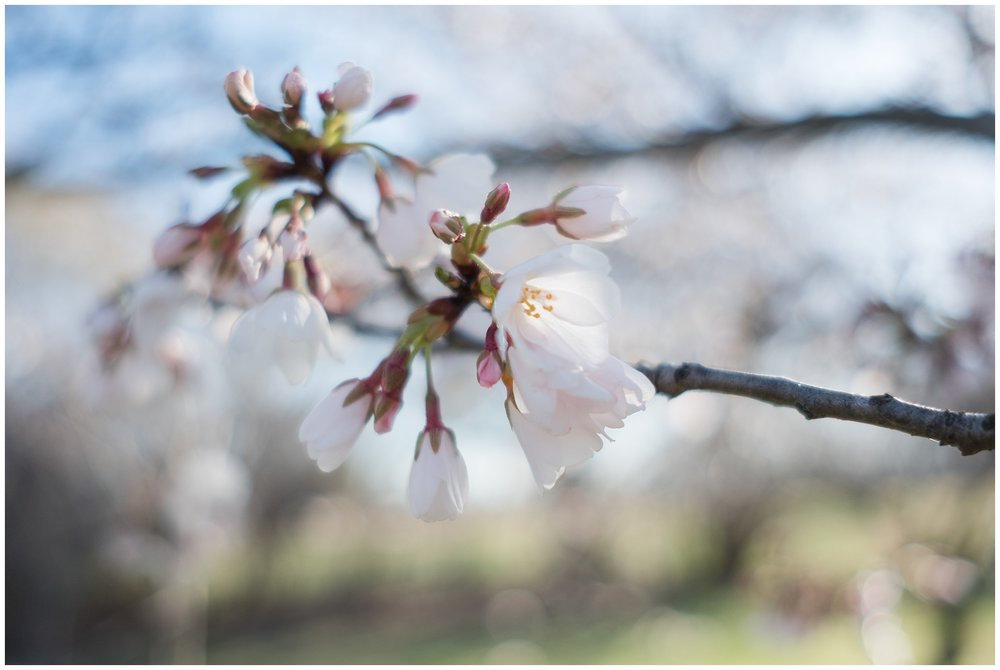 cherry_blossoms_0006.jpg