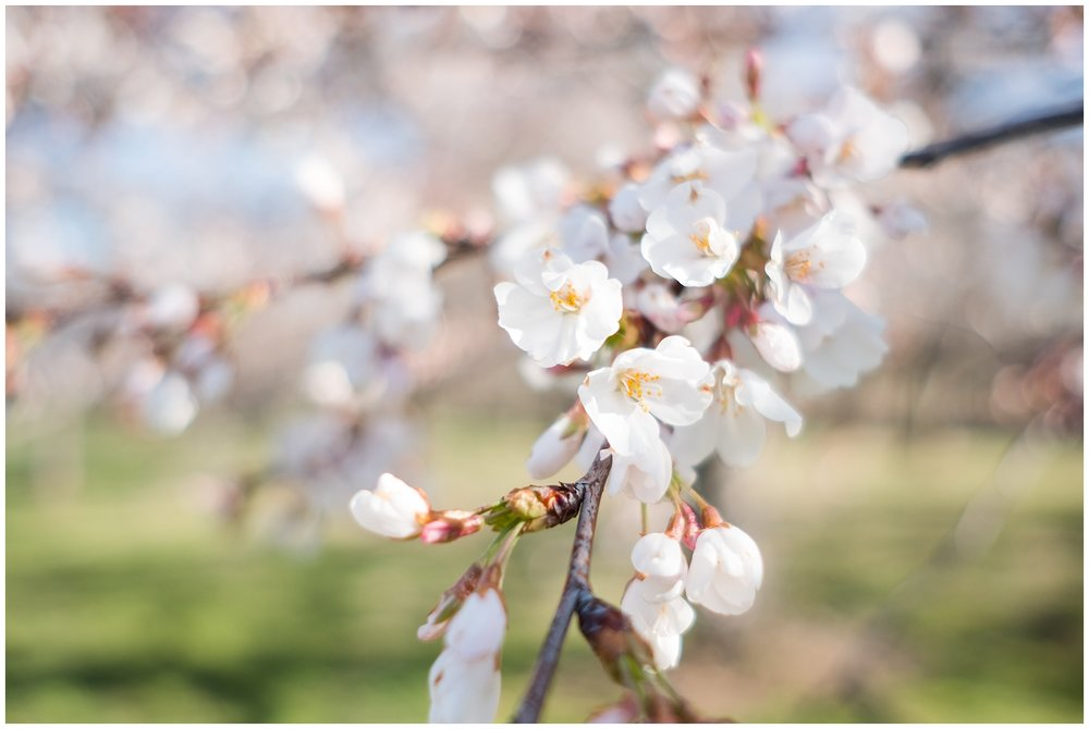 cherry_blossoms_0009.jpg