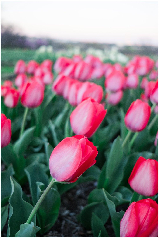 Tulips_WashingtonDC_0001.jpg