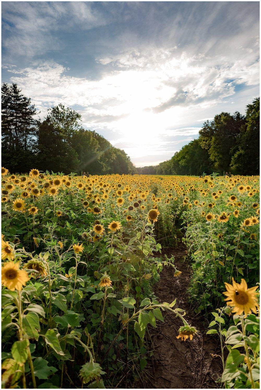 sunflowers_DC_0007.jpg
