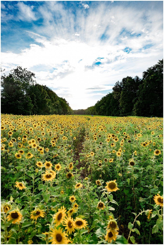 sunflowers_DC_0009.jpg
