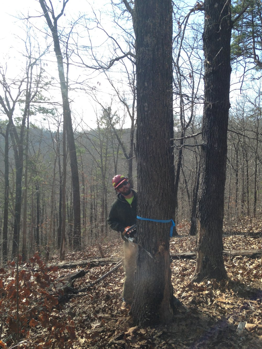 Brandon Janney, Year 23, fells a tree for a timber stand improvement project near Eminence, MO, 2016