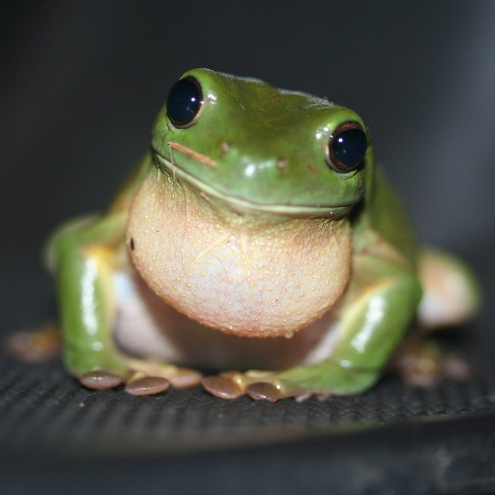 Green_Tree_Frog_(Litoria_caerulea).jpg