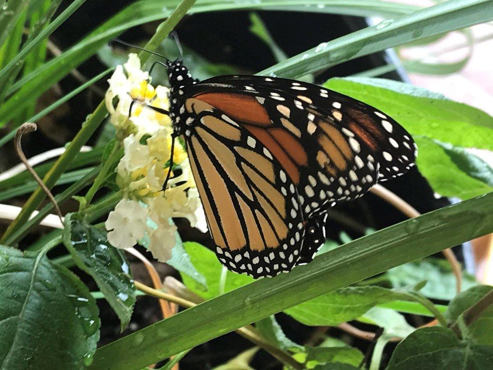 HIW monarch.jpg