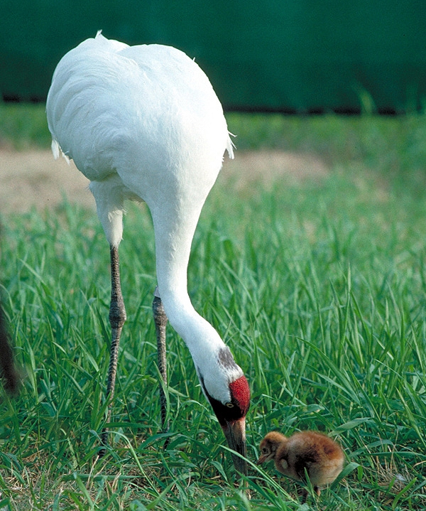 Adult Whooping Crane and Chick by US Fish and Wildlife Service, February 23, 2012