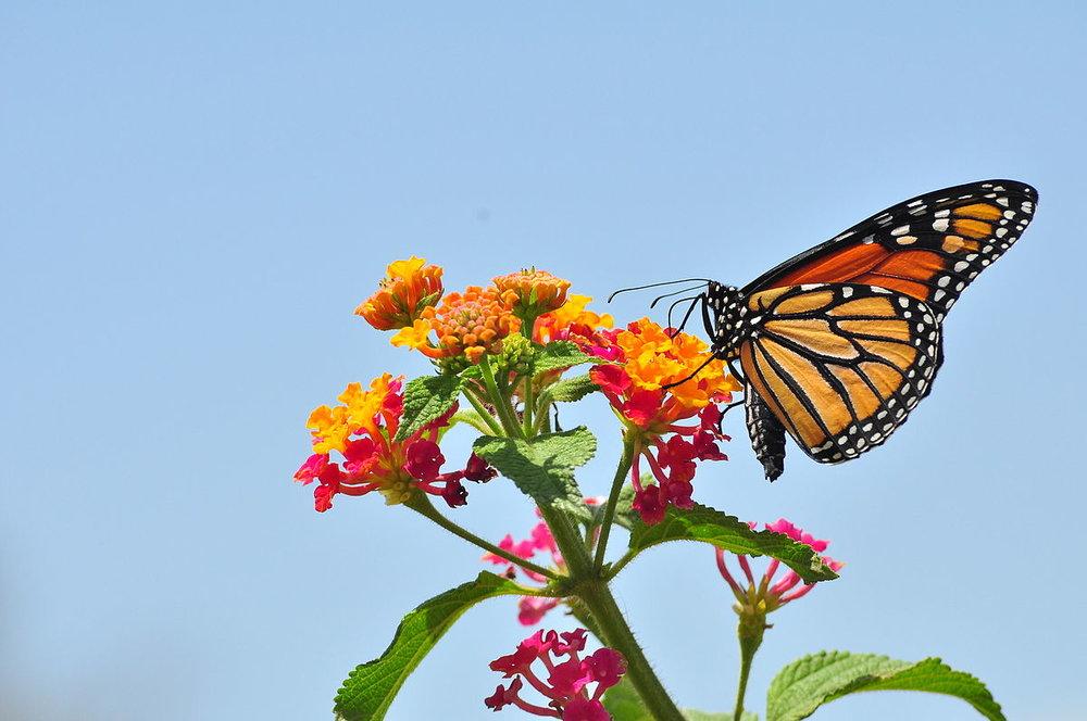 Monarch_Butterfly_-_Danaus_plexippus_(5890526585).jpg
