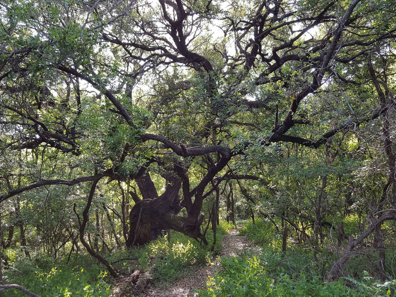 The Spirit Among the Great Oaks — Headwaters at Incarnate Word