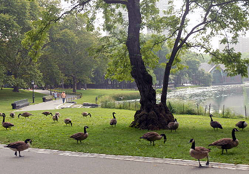 park_goose.jpg