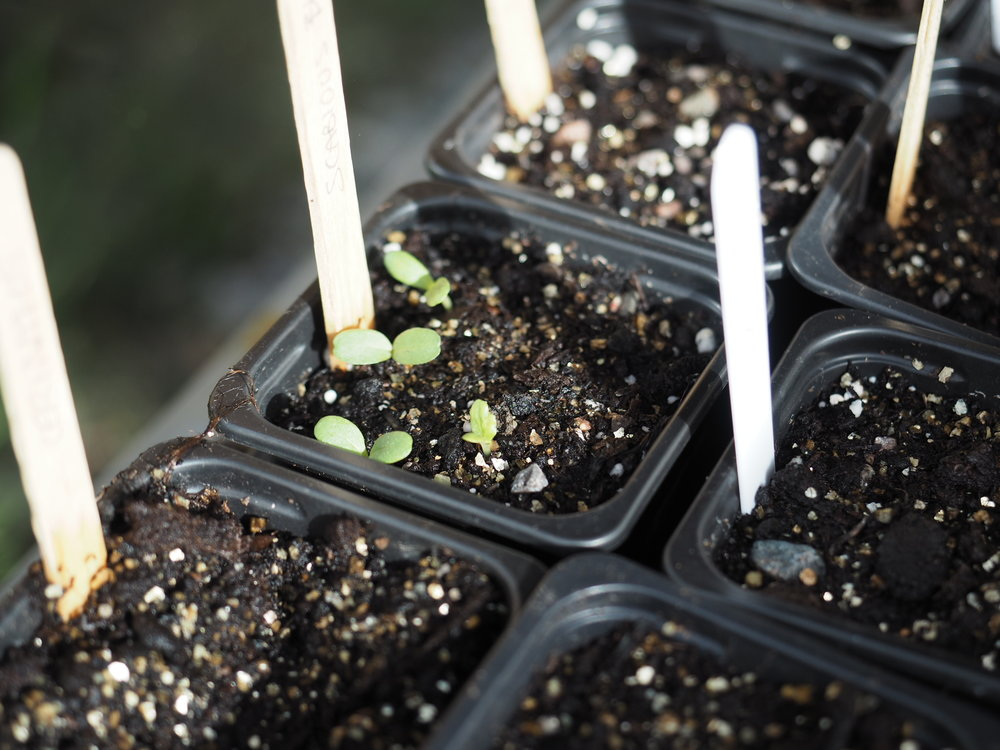 "These Scabious seeds were planted 9 to a 3"" pot and will be pricked out individually when they're big enough to handle."