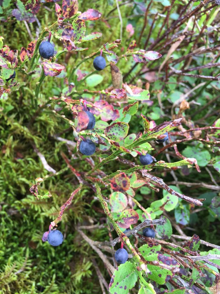 Whortleberries on Bush