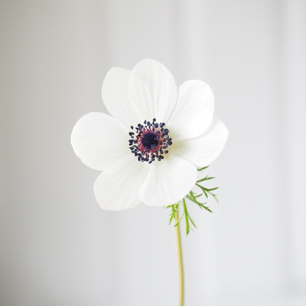 I love this photo of the first anemone from back in the Spring - they're so delicate but last surprisingly well as a cut flower.