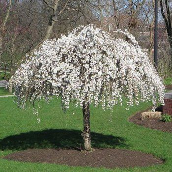 Trees and Shrubs The Gardeners Choice