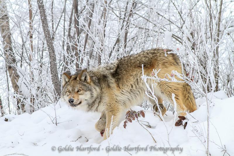 Wolves LR (12 of 13).jpg