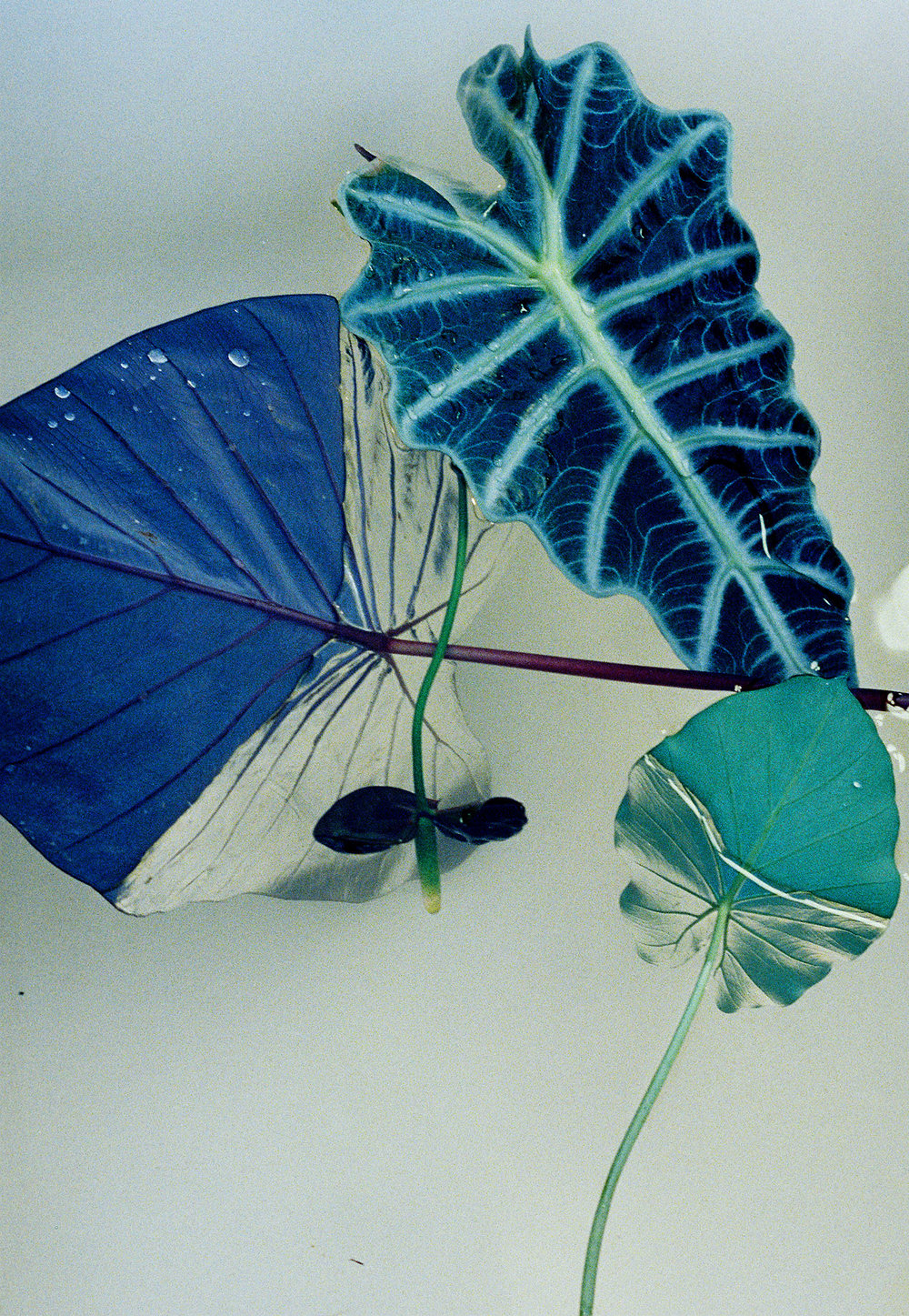 Hydrophobic leaves experimental film photography