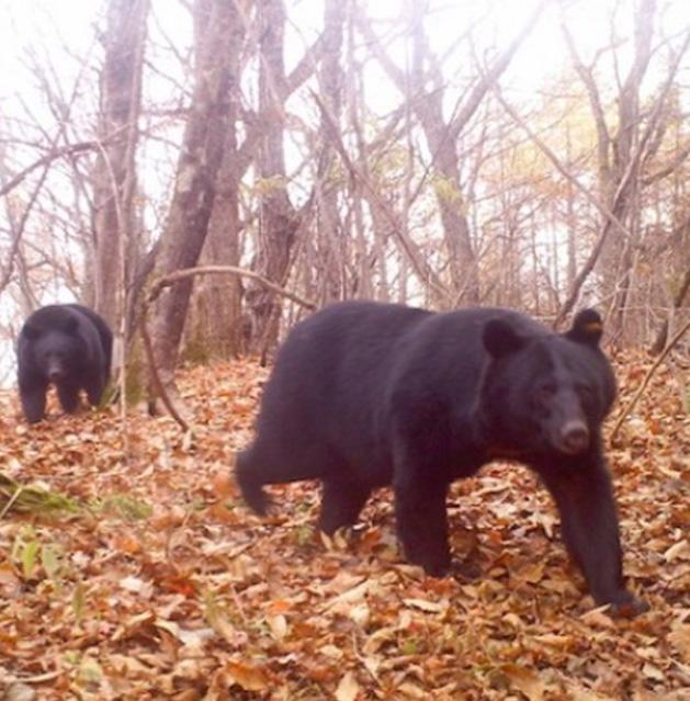 Kuma-Bear-2.jpg
