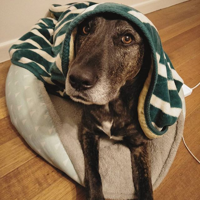 When it's chilly out. #rugup #chillypup