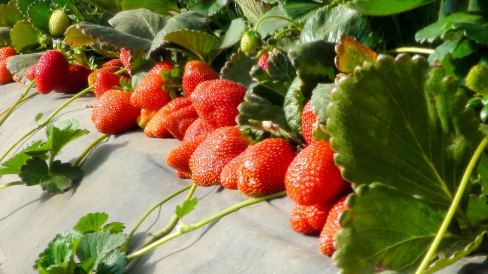 Sun-ripened strawberries, did you know that organic strawberries are higher in antioxidants than their conventional counterparts?