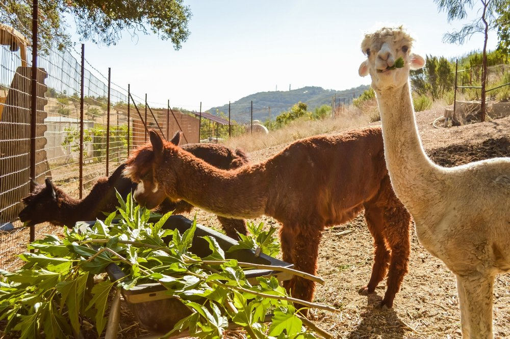 Alpacas munching on delicious artichoke leaves.