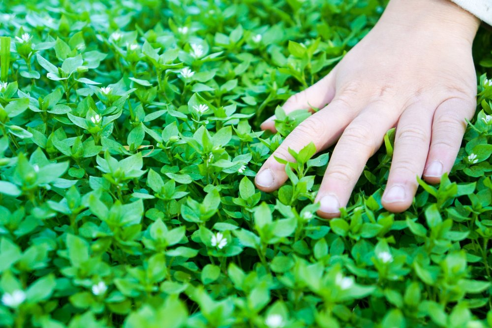 Chickweed is a great addition to salads and are very nutritious.