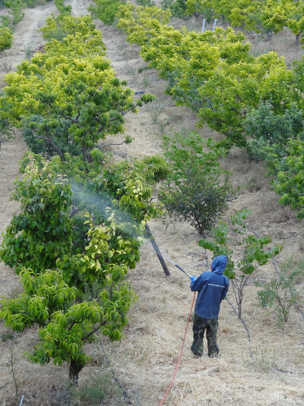 Foliar spraying our fruit trees with beneficial microbes.