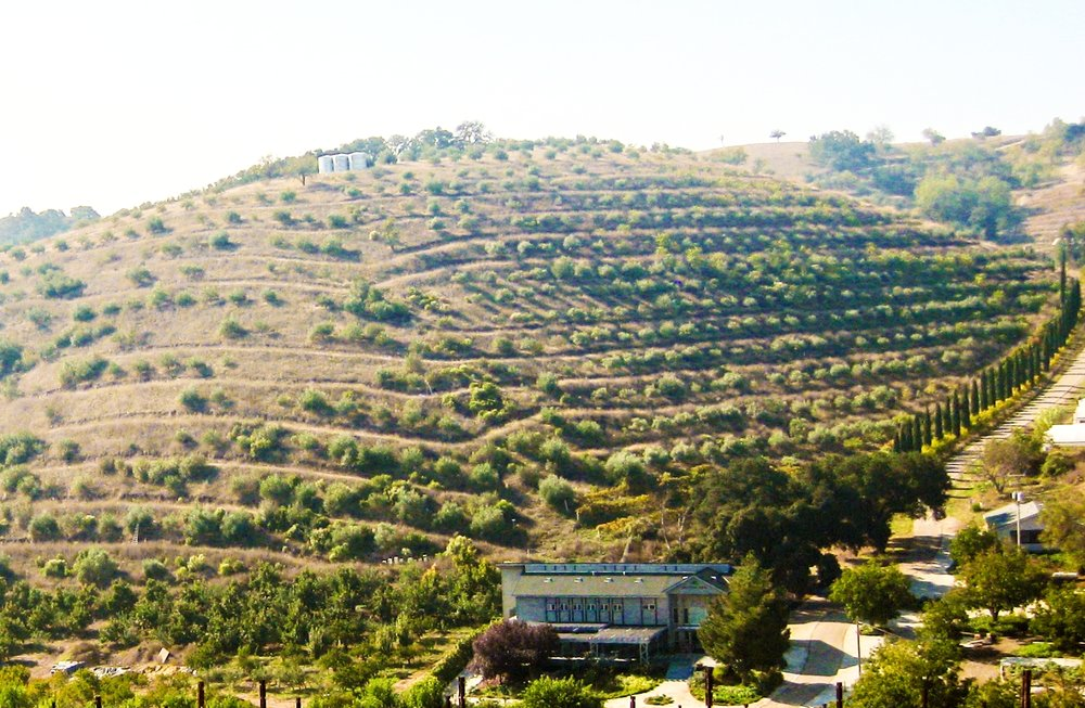 Our majestic olive hill.