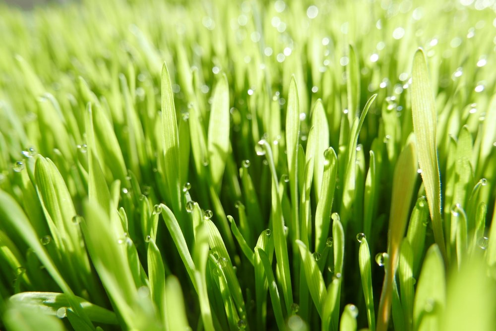 Two ounces of fresh wheatgrass juice is equivalent to the nutritional value of roughly 4 pounds of organic green vegetables in vitamin and mineral content.